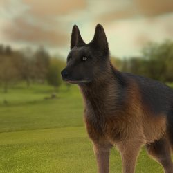 German Shephard